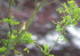 Krekelzanger / River Warbler / Locustella fluviatilis