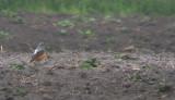 Rode Rotslijster / Common Rock Thrush / Monticola saxatilis