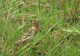 Roodkeelpieper / Red-throated pipit / Anthus cervinus