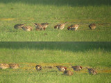 Spaanse Mus / Spanish Sparrow / Passer hispaniolensis