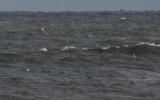 Vorkstaartmeeuw / Sabine's Gull / Xema Sabini