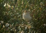 Kleine Spotvogel / Booted Warbler / Hippolais caligata