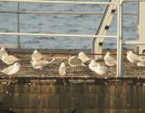Lachmeeuw / Laughing Gull / Leucophaeus atricilla