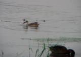 Marmereend / Marbled Duck / Marmaronetta angustirostris