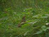 Siberische Boompieper / Olive-backed Pipit / Anthus hodgsoni