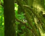 Withalsvliegenvanger / Collared Flycatcher / Ficedula albicollis