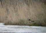 Amerikaanse Wintertaling / Green-winged Teal / Anas carolinensis