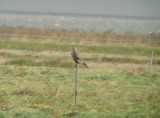 Giervalk / Gyr Falcon / Falco rusticolus