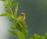 Orpheusspotvogel / Melodious Warbler / Hippolais polyglotta