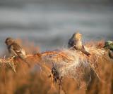 Witstuitbarmsijs / Arctic Redpoll / Carduelis hornemanni
