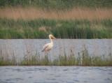 Roze Pelikaan / Great White Pelican / Pelecanus onocrotalus