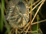 Groene Reiger / Green Heron / Butorides virescens
