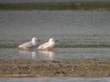 Dunbekmeeuw / Slender-billed Gull / Chroicocephalus genei