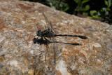 Grote Tanglibel / Onychomphus uncatus