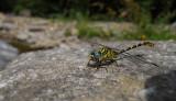 Kleine Tanglibel / Onychogomphus forcipatus