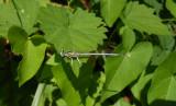 Witte Breedscheenjuffer / Platycnemis latipes