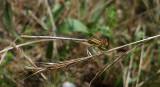 Oranje Breedscheenjuffer / Platycnemis acutipennis