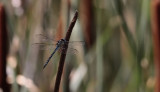Zuidelijke Glazenmaker / Aeshna affinis