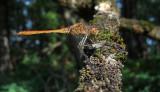 Zuidelijke Heidelibel / Sympetrum meridionale