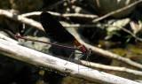 Koperen Beekjuffer / Calopteryx haemorrhoidalis