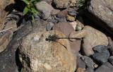 Grote Tanglibel / Onychogomphus uncatus