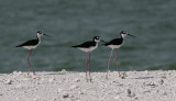 Amerikaanse Steltkluut / Black-necked Stilt / Himantopus mexicanus
