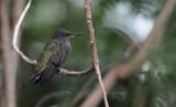 Antillean Crested Hummingbird / Orthorhyncus cristatus