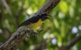 Bananaquit / Coereba flaveola