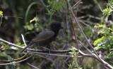 Black-faced Grassquit / Tiaris bicolor