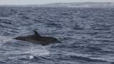 Tuimelaar / Bottlenose Dolphin / Tursiops truncatus