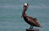 Bruine Pelikaan / Brown Pelican / Pelecanus occidentalis