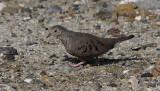 Common Ground Dove / Columbina passerina