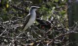 Grey Kingbird / Tyrannus dominicensis