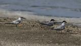 Amerikaanse Dwergstern / Least Tern / Sternula antillarum
