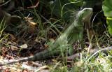Lesser Antillean Iguana / Iguana delicatissima