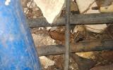 Lesser Antillean Whistling Frog / Eleutherodactylus johnstonei