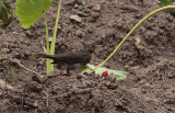 Pearly-eyed Thrasher / Margarops fuscatus
