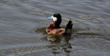 Rosse Stekelstaart / Ruddy Duck / Oxyura jamaicensis