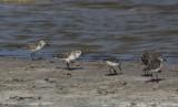 Grijze Strandloper / Semipalmated Sandpiper / Calidris pusilla