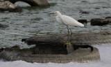 Snowy Egret / Egretta thula