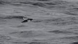 Vliegende Vis spec. / Flying Fish sp.