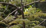 White-winged Dove / Zenaida asiatica