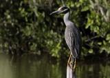 Geelkruinkwak / Yellow-crowned Night Heron / Nyctanassa violacea