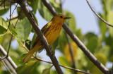 Gele Zanger / Yellow Warbler / Dendroica petechia