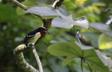 Black-spotted Barbet / Capito niger