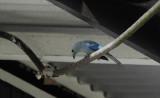 Blue-grey Tanager / Thraupis episcopus