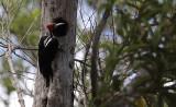 Crimson-crested Woodpecker / Campephilus melanoleucos