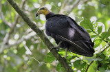 Greater Yellow-headed Vulture / Cathartes melambrotus