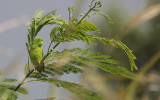 Green-rumped Parrotlet /  Forpus passerinus