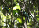 Green-tailed Jacamar / Galbula galbula